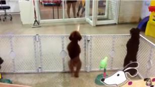 ¡Mira a este perrito bailar salsa! (VIDEO)