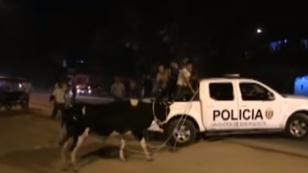 ¡Vaca fue detenida por policía en Tarapoto!